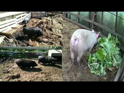 Видео: Каких свиней выбрать? Сравнение Вьетнамских и Простых белых свиней.