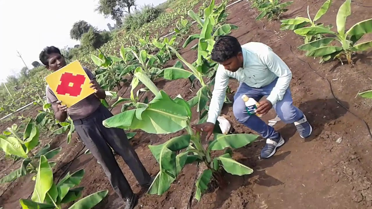 Sumitomo chemical Hoshi and Progibb Easy Good result in Banana crop  7879712744