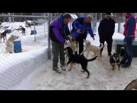 Alaska husky puppies at Dallas Seaveys kennel