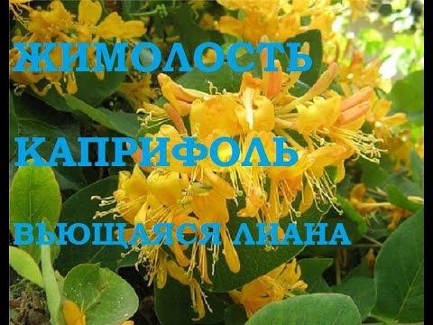Жимолость Каприфоль. Вьющееся растение для сада!