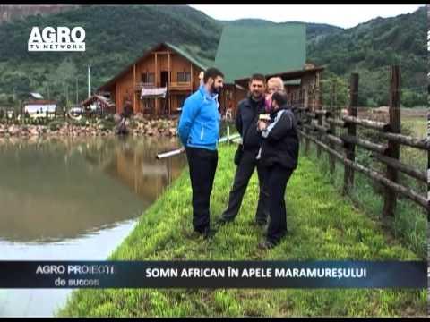 REPORTAJ VIDEO -  Somn African In Apele Maramuresului