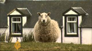 'Sheep rustling' a growing problem in Scotland