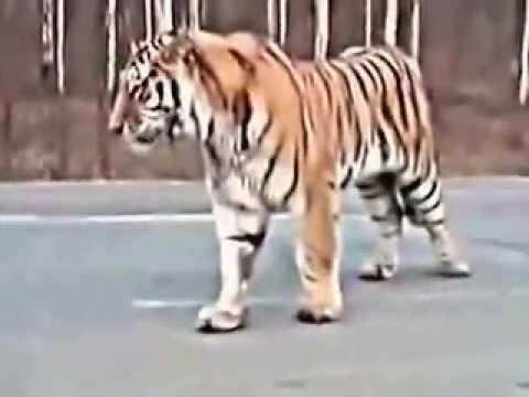 Тигр вышел на охоту.Все в шоке.Tiger on the loose