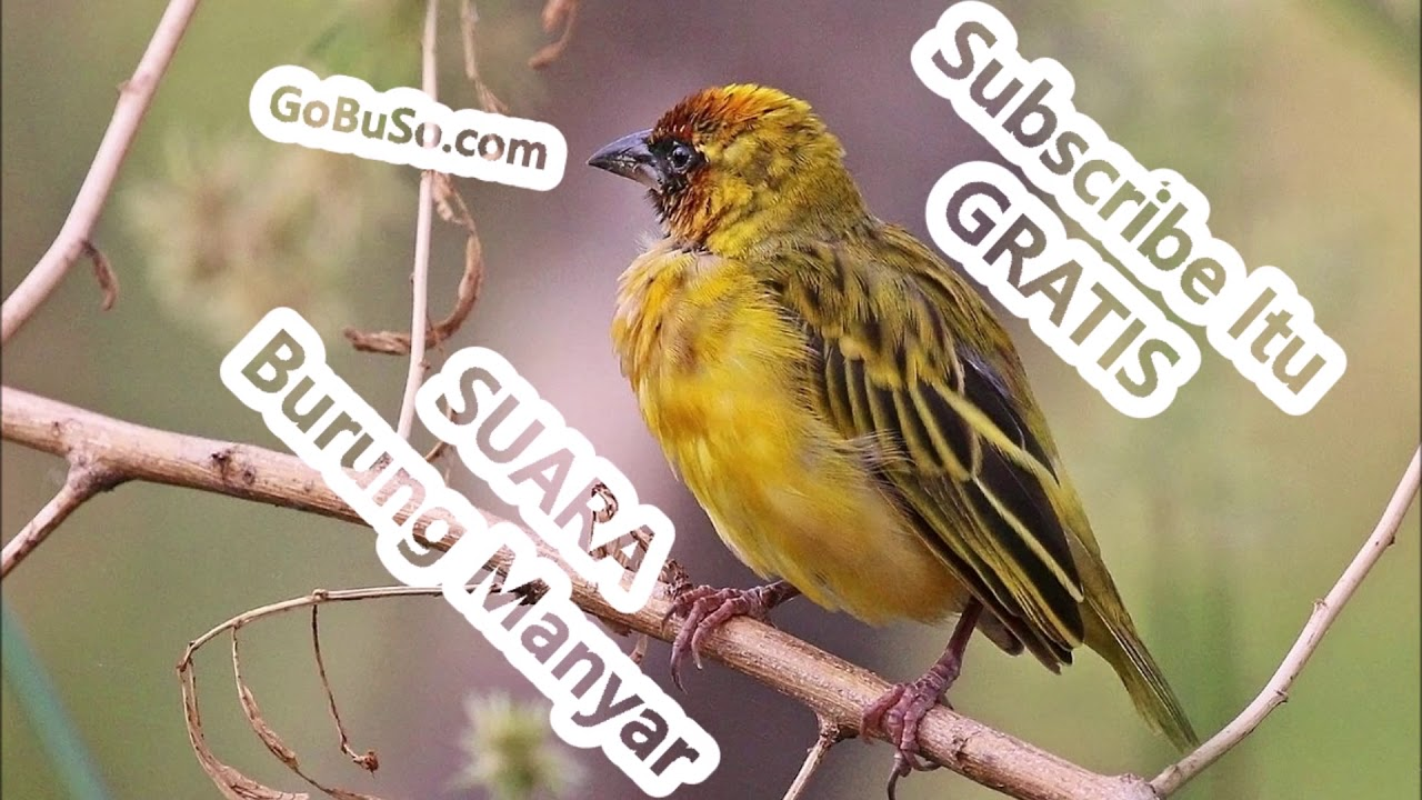 Download Suara Burung Manyar Emas Liar Gacor Mp3 Harga