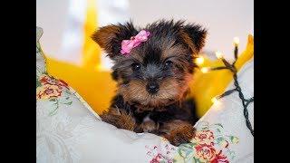 Чудесная нежная девочка Йорк / Купить щенка йоркширского терьера / Щенок йорка