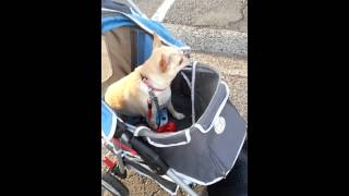Lucy enjoying a ride in pet stroller