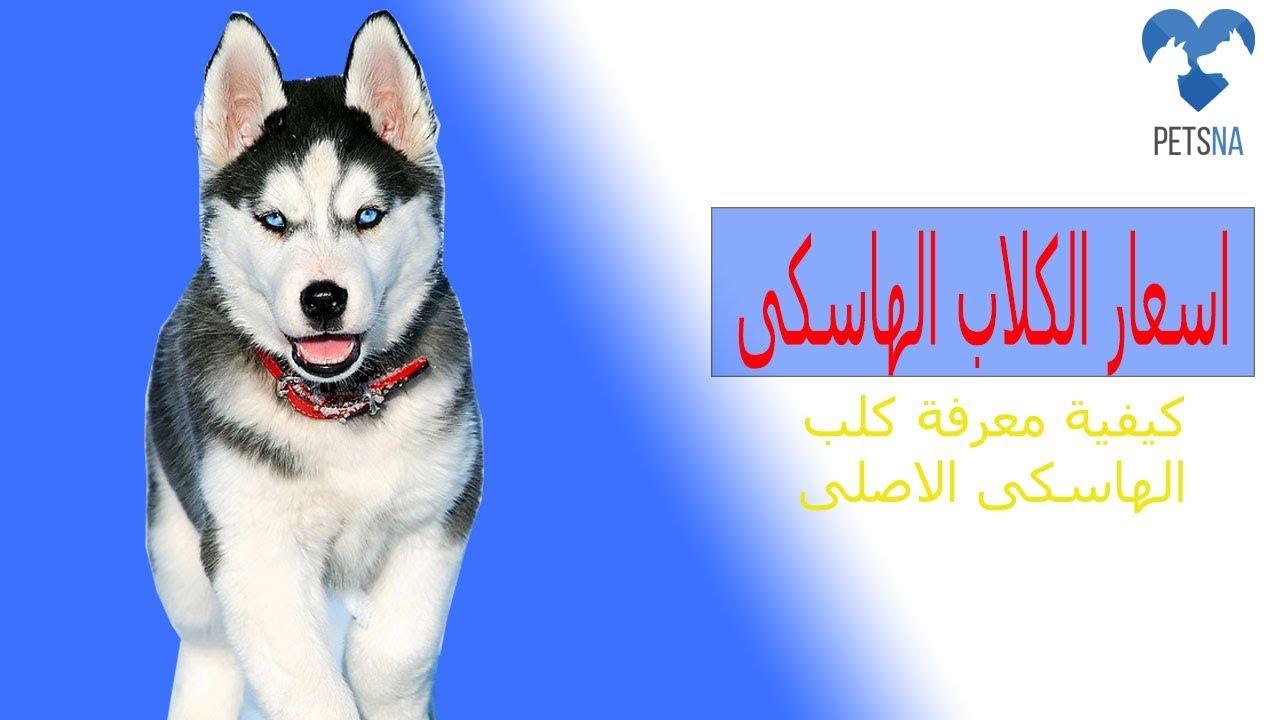 اسعار الكلاب الهاسكى فى مصر 2019 كيفية معرفة كلب الهاسكى الاصلى بيور Youtube