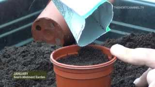 How to Sow Antirrhinum (Snapdragons) | Amateur gardeners and allotments