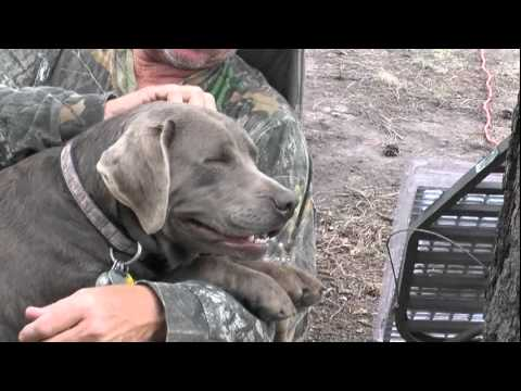 Brooke the Silver Labrador's First Crush.mpg