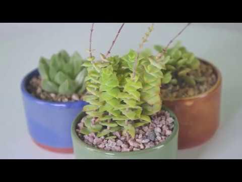 Popular variegated succulents