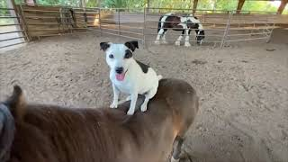"""Dog Hops on Horse Then Owner Asks """"Who Is the Best Puppy in the World"""""""