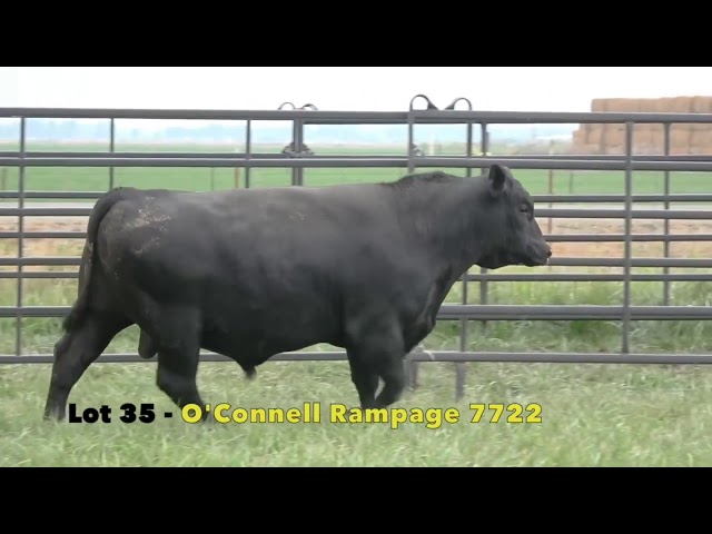 Black Gold Bull Sale Lot 35