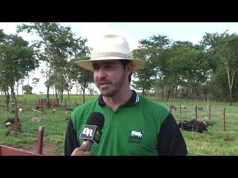 Criação de cordeiros em Balsas Maranhão