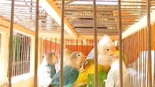 Попугаи. Приобрел новых птиц