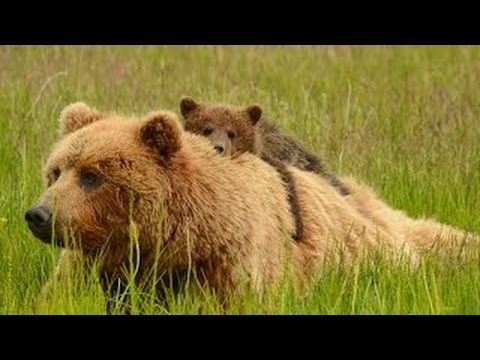 Best Documentary 2015 The Wild Brown Bears Animal [Top Docum