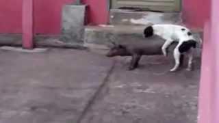 Собака хочет свинью 2