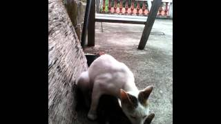 Cat (Male) rapes kitten (male too).