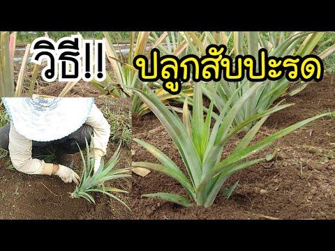 วิธี!! ปลูกสับปะรด