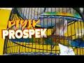 Piyik Perkutut Jantan Prospek Ring Pandawa Bird Farm  Mp3 - Mp4 Download