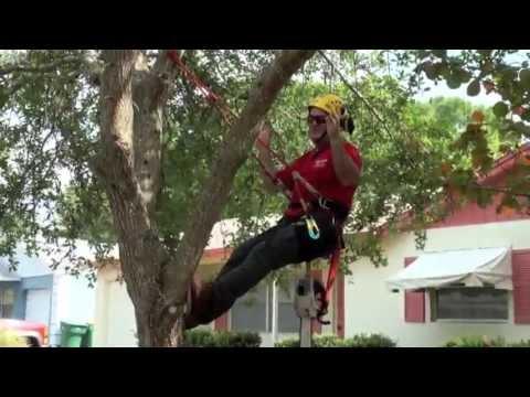 Pruning Live Oak For Health & Safety, Arborist,Naples Fl.