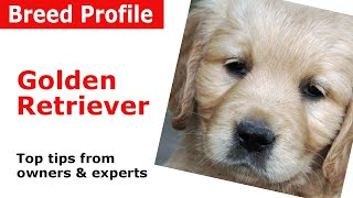 Golden Retriever Dog Breed Guide