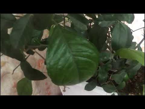 Чем домашнему лимону грозит листопад?? Почему у лимона опадают листья??