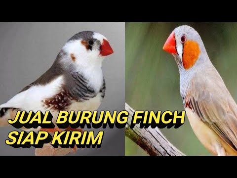 A Day In The Life Of A Zebra Finch Part 1 Of 2 Youtube
