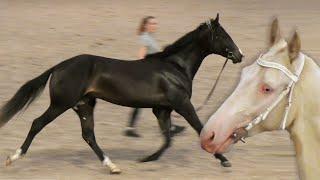 #ЛОШАДИ: ахалтекинская чистокровная, ЖЕРЕБЦЫ 2-х лет #ИППОсфера 2019 выставка лошадей