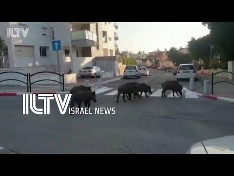 Wild Animals Roam Around Cities In Israel