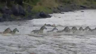 crocodile attacks zebra at mara river kenya