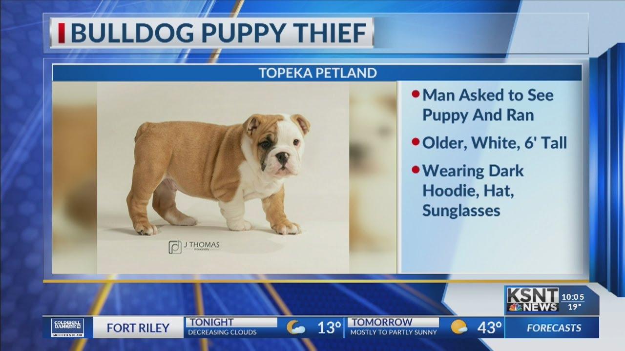 Thief steals bulldog puppy from Petland