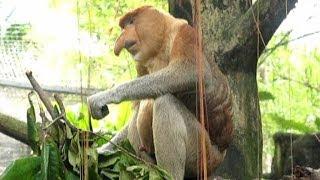 Proboscis monkey - zoo sex-simbol. Носач - секс символ Сингапурского зоопарка.