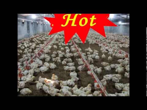Hoop Houses Good For Turkeys besides Peb structures as well 422210 Plasson Broiler Drinker further Steel Structure Poultry House Design 871803675 additionally WI Idx. on poultry broiler house design