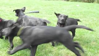 Labrador - German Shepherd Puppies For Sale In Pa