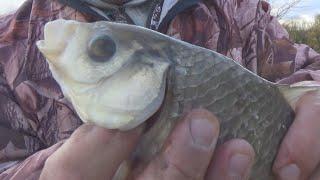 Рыбалка на карася ГИГАНТа в секретных местах Гнулю гнули караси гиганты