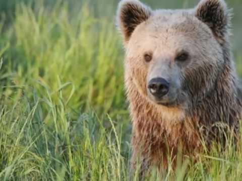 bjørnen vågner akkorder