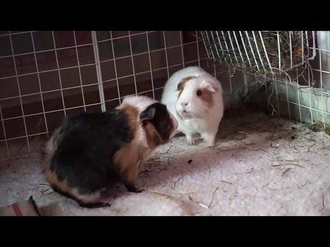 How To: Bond Guinea Pigs   5 Tips