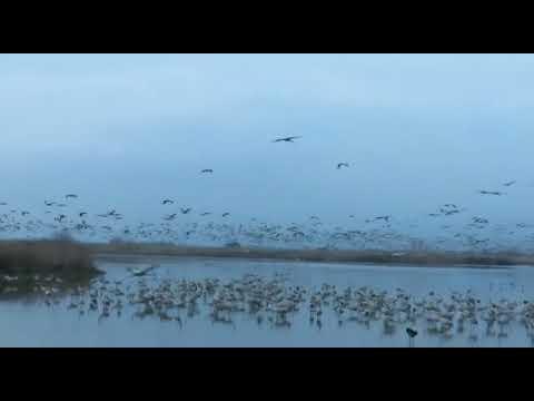 מדהים: אלפי עגורים באגמון החולה