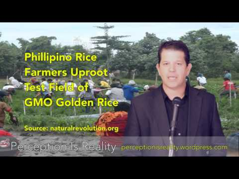 Philippine Farmers Uproot, Destroy GMO Rice Test Field