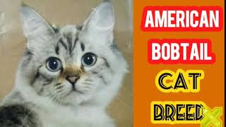 American Bobtail Cats & Kittens