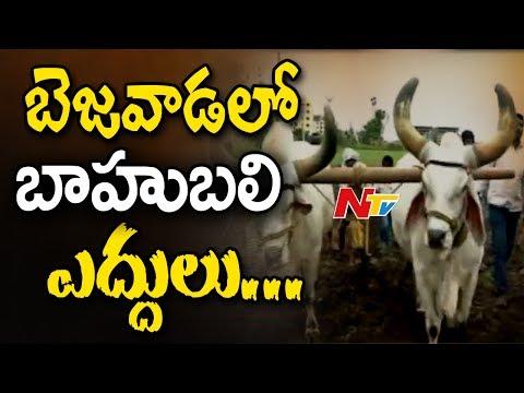 Baahubali 2 War Episode Bulls in Vijayawada || Prabhas, SS Rajamouli || #Baahubali2 || NTV