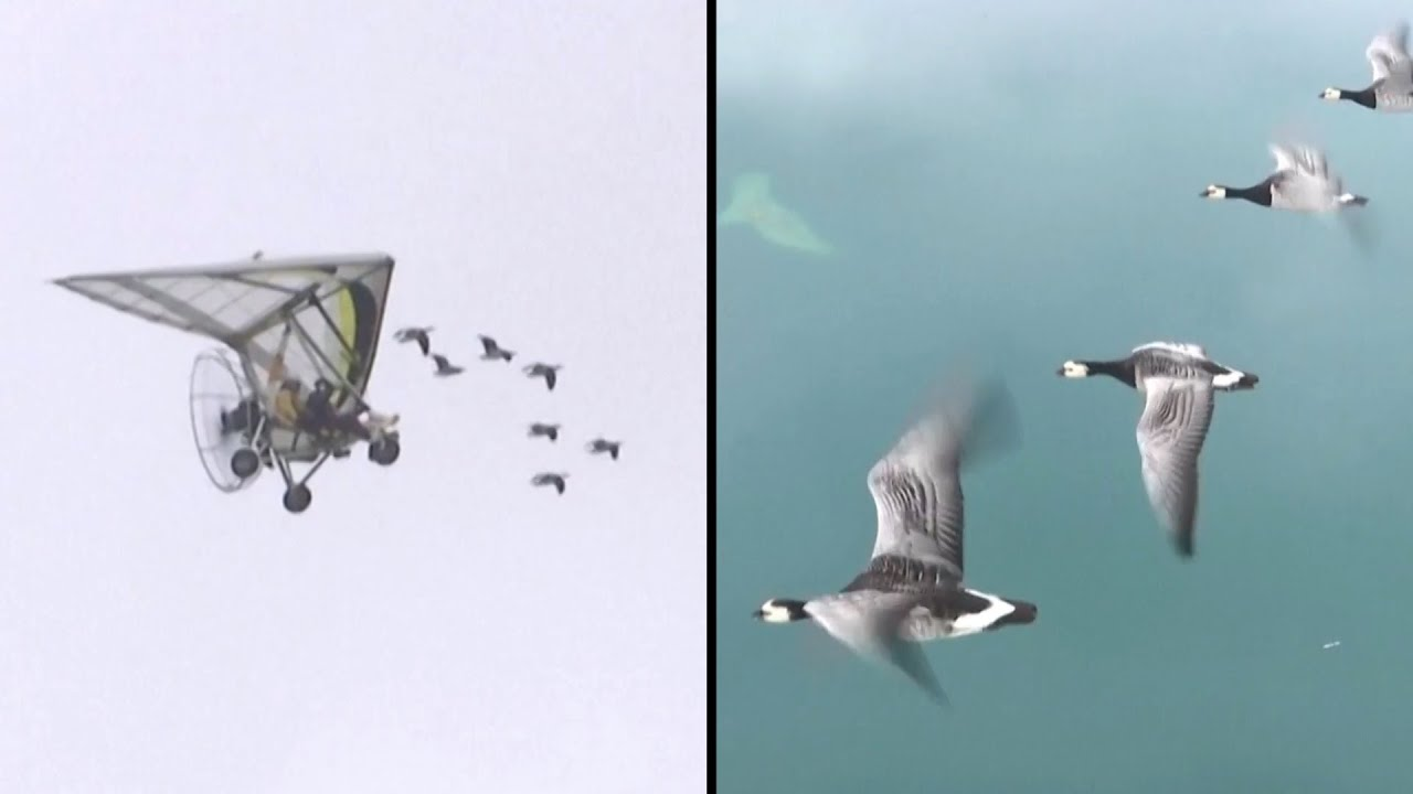 Download Visually Impaired Woman Flies With Flock of Geese