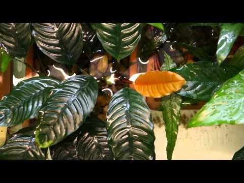 Анубиас кофелистный - Anubias coffeefolia  (Anubias barteri var. Coffeefolia)