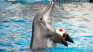Dolphin Show in Dubai FULL VIDEO | Sea World's Dolphin Show Live