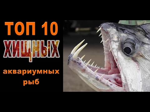 ТОП 10 хищных аквариумных рыб