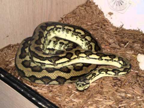 My Snakes (Jungle Carpet Python, Jungle Jaguar Python ...