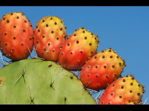 What is a Cactus Fruit (Tuna) - YouTube - photo#23