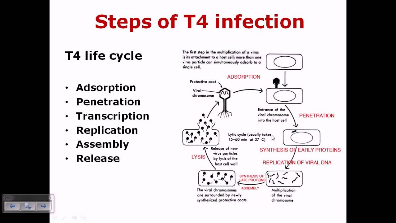 hight resolution of t4 phage life cycle