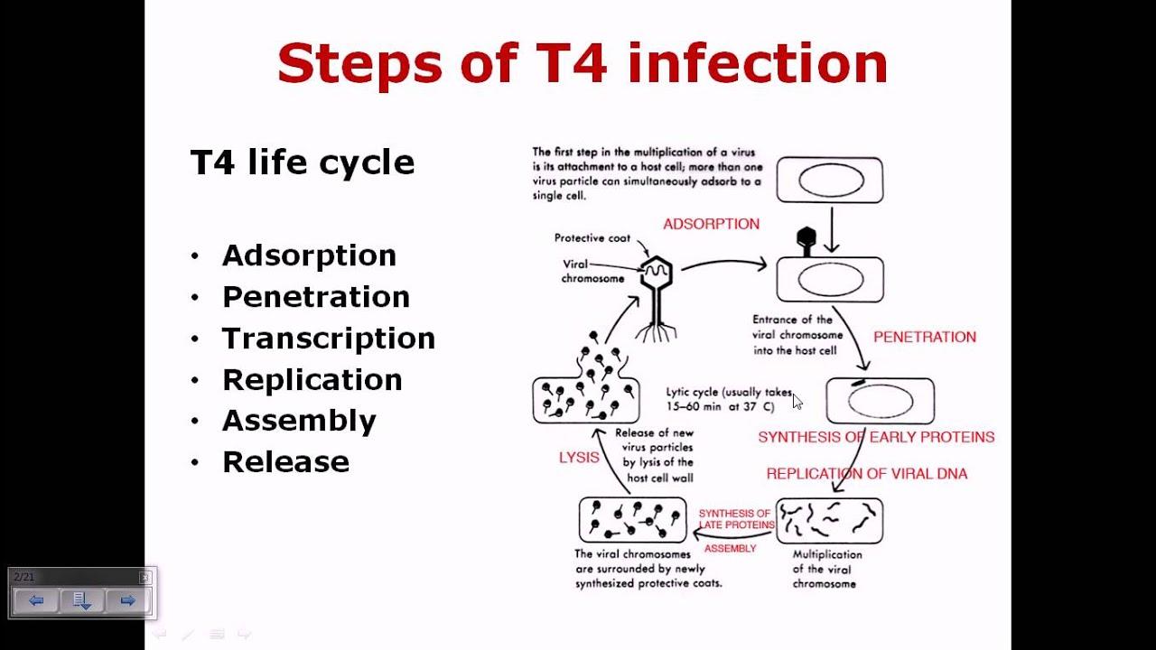 t4 phage life cycle [ 1280 x 720 Pixel ]