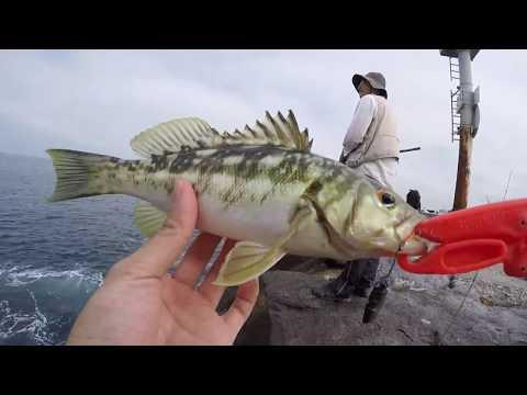 Newport Harbor Calico Bass Fishing & Bonito FEEDING FRENZY